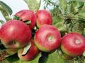 Pesticid Propagite v jablkách je v EU úplně zakázaný